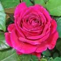 Фото цветка чайно-гибридного сорта розы Биг Пепл  Big Purple