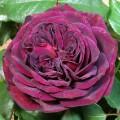 Фото розы Astrid Grafin von Hardenberg. Астрид Графин фон Харденберг