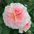 фото канадской розы сорта Морден Блаш, Modern Blush