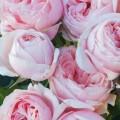сорт розы Nahema. Наэма