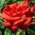 фото розы Ogni Jalty, Огни Ялты.