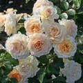 Саженцы роз Marie Antoinette Мария Антуанетта