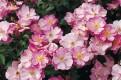фото розы Lavender Dream Лавандер Дрим