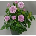 фото розы Lavender Kordana. Лавандер Кордана