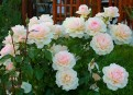 фото розы Chandos Beauty. Чандос Бьюти