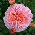 фото сорт розы Abraham Darby. Абрахам Дэрби.