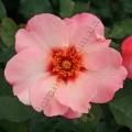 Фото розы Alissar Princess of Phoenicia. Принцесса Финикийская