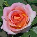 фото роз сорта Elle. Эль