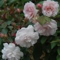 фото розы Bubble Bath. Баббл Бас
