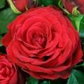 Фото розы Red Magic. Ред Мэджик