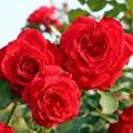 фото розы сорта Grandessa. Грандесса