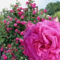 фото розы Maritim. Маритим