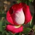 Фото розы Acapella. Акапелла