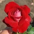 фото розы сорта Allelulia. Аллилуя