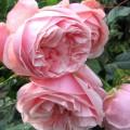 фото розы сорта Aphrodite. Афродита
