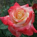 фото роз Fiji. Фиджи