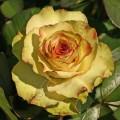 фото сорт розы Green Fashion. Грин Фешион.