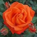 фото чайногибридной розы сорт Вуду Voodoo