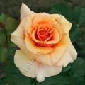 фото розы Paco Rabanne. Пако Рабан