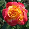 фото розы сорта Kordes' Jubilee. Кордес Юбили