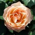 фото розы Jalitah. Джалита