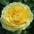 фото розы China Girl. Чайна Гёл