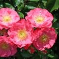 Саженцы роз Michel Bras. Мишель Бра