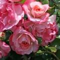 фото розы сорта Rosenstadt Freising. Розенштадт Фрайзин