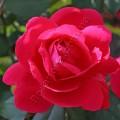 фото канадской розы сорта Виннипег Паркс Winnipeg Parks