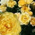 Фото розы сорта Yellow Fairy. Еллоу Фейри