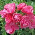 фото розы Angela. Анжела