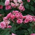 фото роз Pink Flash. Пинк Флеш