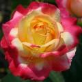 фото розы сорта Pullman Orient Express. Восточный Экспресс