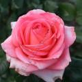 фото розы сорта Bermuda. Бермуда