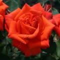 фото розы Wildfire. Вайлдфайер