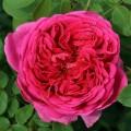 фото розы сорта Lady of Megginch. Леди оф Меггинч