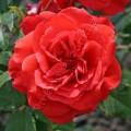 фото розы Francois Rabelais. Франсуа Рабле