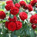фото канадской розы сорта Хоуп фо Хьюманити Hope for Humanity