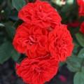 фото миниатюрной розы сорта Orange Sunblaze. Оранж Санблейз