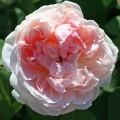 фото роз Mary Magdalene. Мария Магдалена