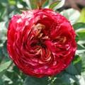 фото розы сорта Papagayo. Папагайо