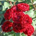 фото розы Таманго. Tamango