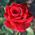 фото розы Mr Lincoln. Мистер Линкольн