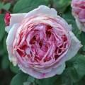 фото розы сорта  Brother Cadfael.  Бразе Кадфаэль