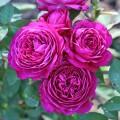 Фото роз Heidi Klum Rose. Хайди Клюм Розе