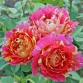 фото розы сорта Rose des Cisterciens. Роз дес Систерсьенс