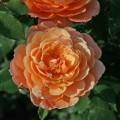 фото розы сорта Andre Turcat. Андре Туркат