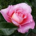 фото розы сорта AudreyWilcox. Одрей Вилкокс
