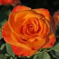 фото роз сорта Birdy. Бирди