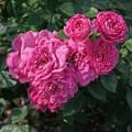 фото розы сорта Blue Boy. Блу Бой